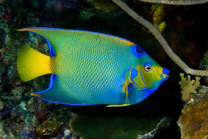 Queen angelfish holacanthus ciliaris for Queen angel fish