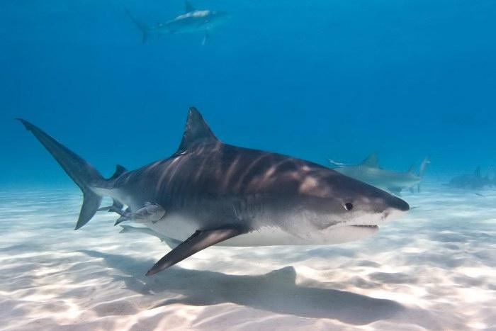tiger shark 1280x800 - photo #15